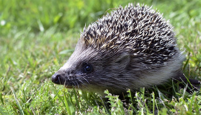 Básnička o kulhavém ježkovi