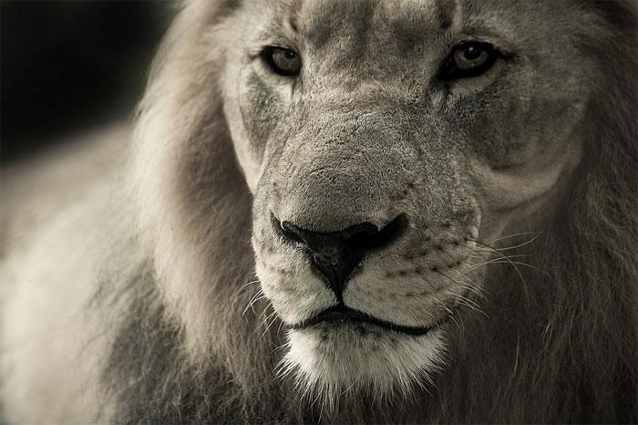 Ostříhaný lev