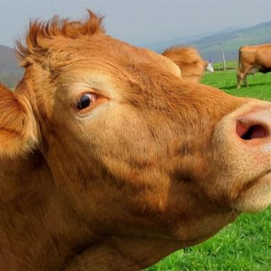 Básnička: Kráva