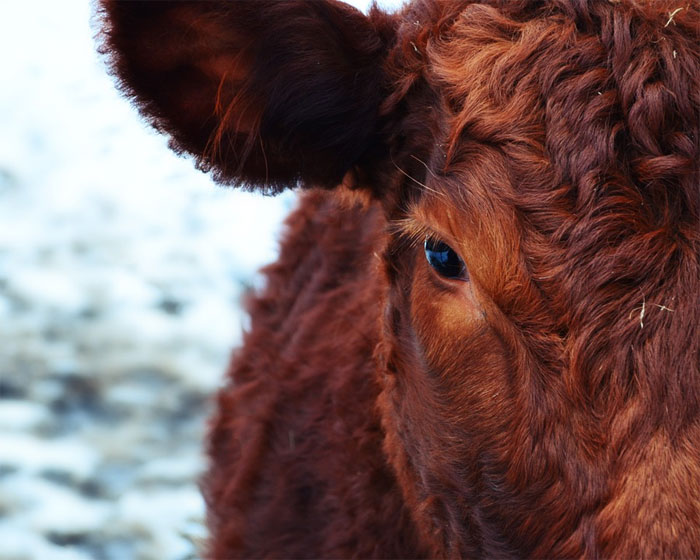 Má každý svoji krávu?