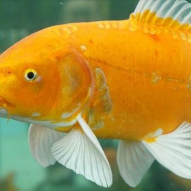 Básnička: Zlaté rybky